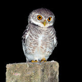 Owl night bird Stock Photography