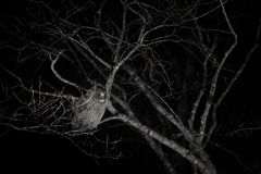 Owl in night. Blakiston`s fish owl, Bubo blakistoni, largest living species of owl, fish owl, a sub-group of eagle. Bird hunting Stock Photography