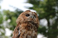 Owl, night hunter close-up royalty free stock photography