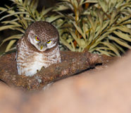 Owl at night. An owl (species, common spotted owlet) perched on a tree at night in darkness staring. Scary owl sitting on a tree branch Stock Photography