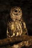 Owl at the North Carolina zoo Royalty Free Stock Photography