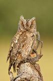 Owl observer on the tree trunk Stock Image
