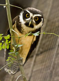 Owl On Branch Royalty Free Stock Photos