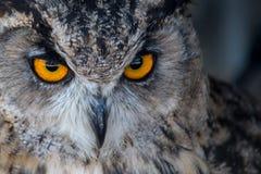 Owl Orange Stockfoto