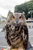 Owl with orange eye in the city. Stock Photography