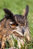 Owl with orange eyes Royalty Free Stock Image