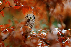 Owl in the orange forest. Boreal owl, Aegolius funereus, in the orange larch autumn forest in central Europe, detail portrait in t Royalty Free Stock Photo