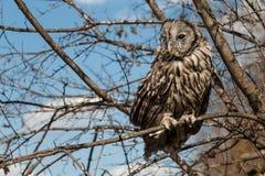 Owl på en treefilial Royaltyfri Foto