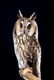 Owl på svart bakgrund Royaltyfri Fotografi