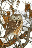 Owl in Park City. An owl on a tree in Park City Utah Royalty Free Stock Images