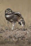 Owl, Patagonia , Argentina Stock Photos