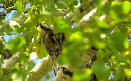 Owl peeking out from behind the foliage royalty free stock photography