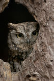 Owl. An owl peering through a hole in the tree Stock Photography