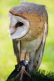 Owl on a perch. Owl looking to one side Royalty Free Stock Photo