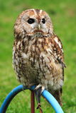 Owl on a perch. Small owl sitting on a perch in a field Royalty Free Stock Photography