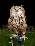 Owl on perch royalty free stock images