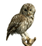 Owl on a perch with clipping path Royalty Free Stock Photography