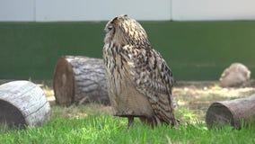 Owl On Perch salvaje metrajes