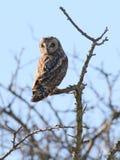 Owl Perched à oreilles courtes images libres de droits