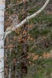 Owl Perched barrado en árbol de abedul Foto de archivo libre de regalías