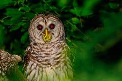 Owl Perched barrado en un árbol Foto de archivo
