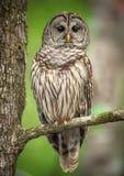 Owl Perched barrado en una rama de árbol Fotografía de archivo