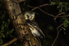 Owl Perched boréal dans un arbre photographie stock libre de droits