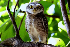 A owl perched on branch with eye contact royalty free stock photo