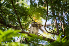 Owl perched on a branch Stock Photography