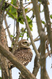 Owl. Perched between branches of tree Stock Photography