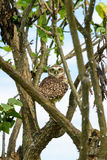 Owl. Perched between branches of tree Stock Images