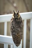 Owl Perched In Broad Daylight aux grandes oreilles rare Images stock