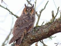 Owl Perched de orejas alargadas en una rama Fotografía de archivo