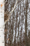 Owl Perched escluso nell'albero di betulla Fotografia Stock Libera da Diritti