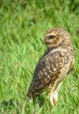 Owl perched för att stirra baksidt. Arkivbild