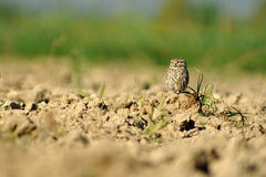 Owl perched on the field Royalty Free Stock Image