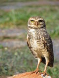 Owl perched staring. Royalty Free Stock Image