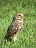Owl perched staring Royalty Free Stock Photography