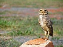 owl perched stirra Fotografering för Bildbyråer