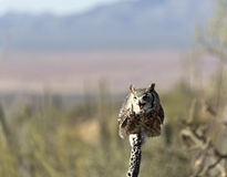 Owl perches on dried cholla branch Stock Images