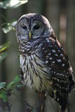 Owl perched on branch  Stock Photo
