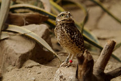 Owl. Photo of a little owl Royalty Free Stock Photo