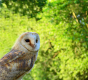 Owl. A photo of a white and tan barn owl Stock Photo