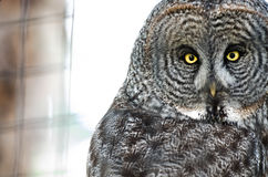 Owl with Piercing Eyes Royalty Free Stock Image