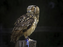 Owl placed on a trunk. A beautiful owl placed on a trunk waiting a piece of meat from the falconer royalty free stock images