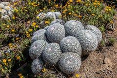Owl& x27; planta del cactus del acerico del ojo de s de México foto de archivo