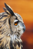 Owl Portrait. An European Eagle Owl in profile Stock Photography