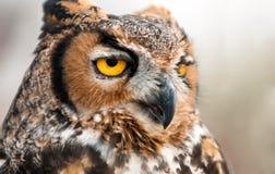 Owl Portrait Royalty Free Stock Image