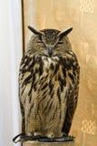 Owl Portrait Royalty Free Stock Photography