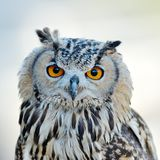 Owl portrait Stock Photos